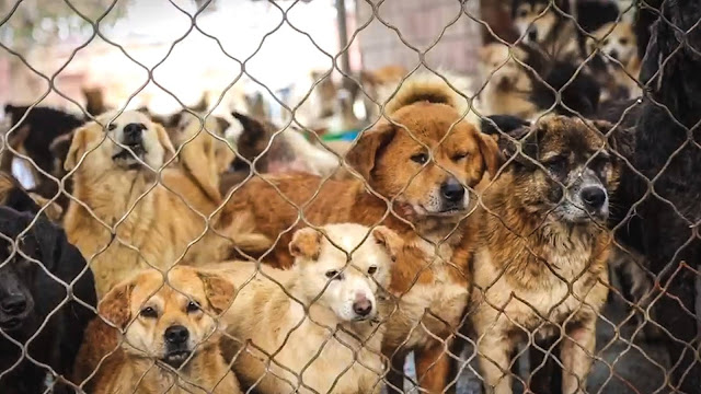 Over 200 Dogs From China Saved From Slaughterhouses, Dog Meat-Trade, Abuse & Neglect Will Soon Arrive in the U.S. on Their Way to Their Forever Homes
