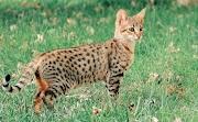 6 Jenis Kucing Termahal Di Dunia, Pecinta Kucing Harus Tahu!