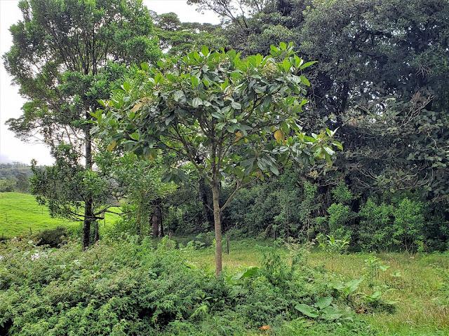 melastomataceae blackea costarricense tree costa rica