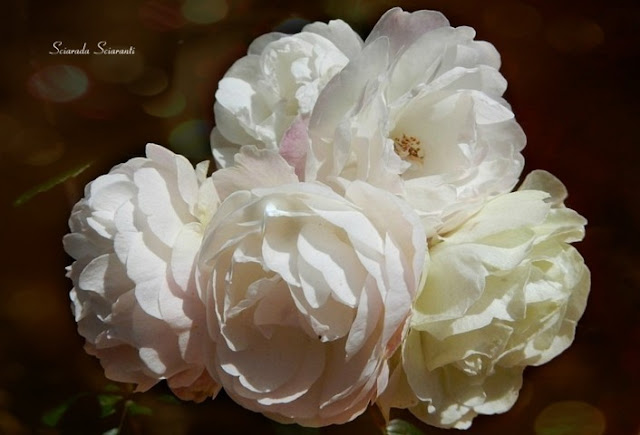 Rose candide d'autunno