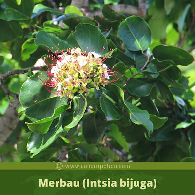 Merbau (Intsia bijuga)