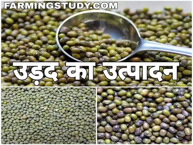 भारत में उड़द की फसल के कम उत्पादन होने के क्या कारण है, urad ki fasal ka utpaadan, उड़द की खेती, उड़द की दाल, भारत में उड़द का उत्पादन, urad ki daal,
