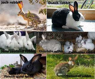 7 Different Types Of Rabbit Breeds In Nigeria