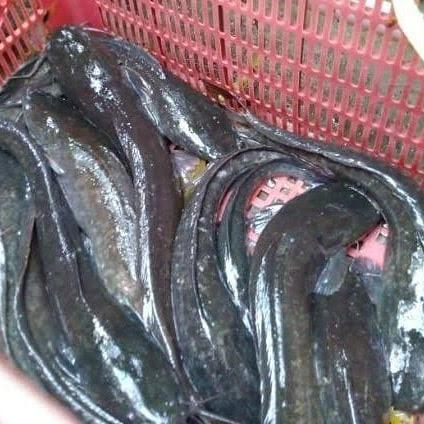 Budidaya Ikan Lele
