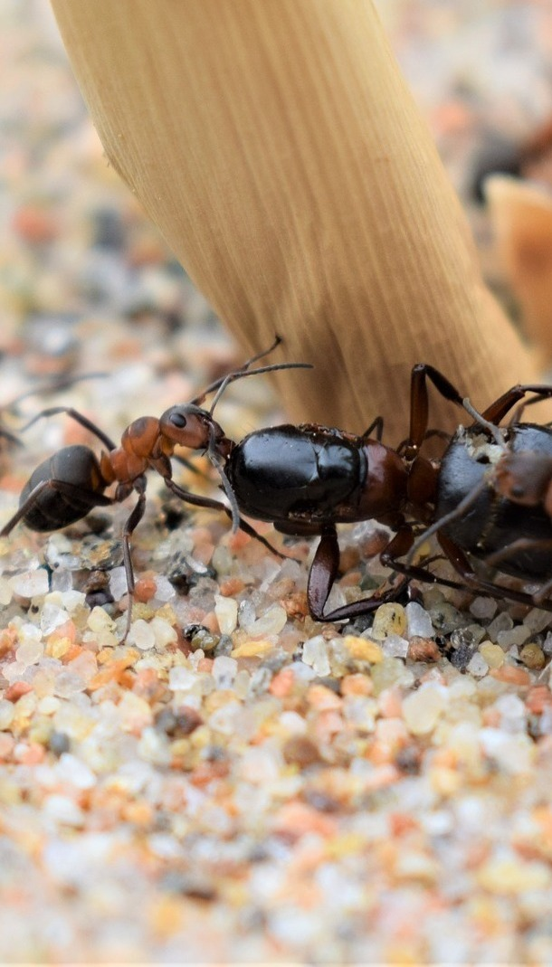 Army ants attack.