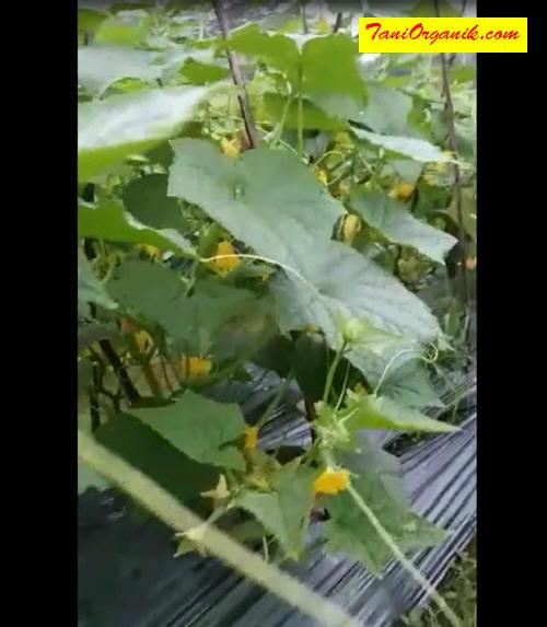 Perhatikan bagaimana lebatnya bunga mentimun pak Darkim, cukup berpotensi untuk menghasilkan tonase panen yang berlipat.