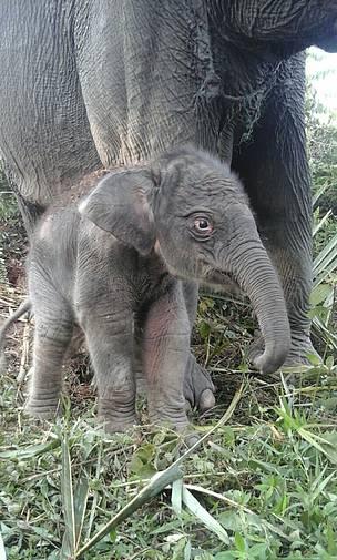 Harapan Baru, Bayi Gajah Lahir di Taman Nasional Tesso Nilo