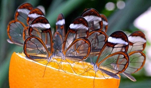 kupu - kupu bersayap kaca