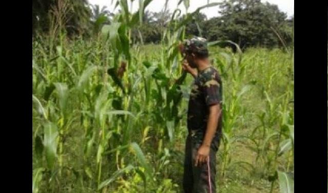 Tentara ini Lakukan Pengecekan Tanaman Jagung di Desa Lubuk Rampah