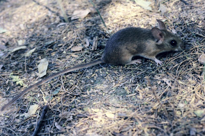 Rata acuática Scapteromys aquaticus