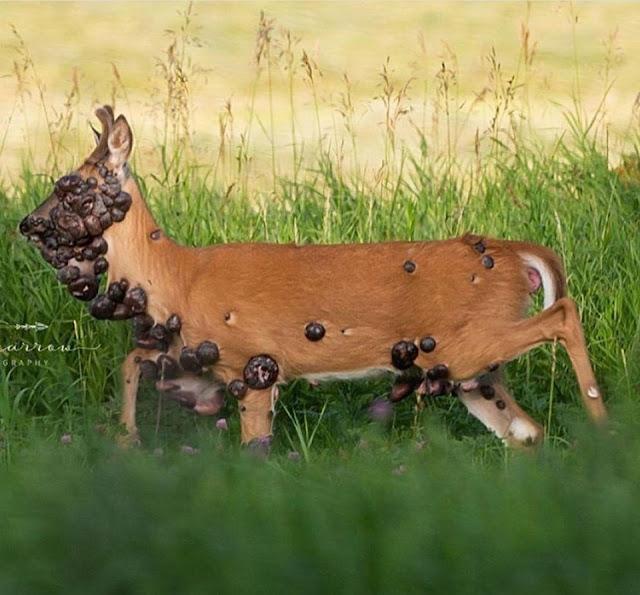 Душераздирающие фотографии оленя, покрытого большими опухолями, из-за которых не видно его глаз, шокировали соцсети!