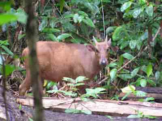satwa anoa di hutan lambusango