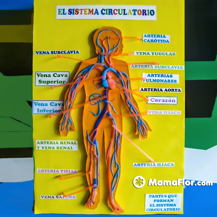 Sistema Circulatorio con plastilina