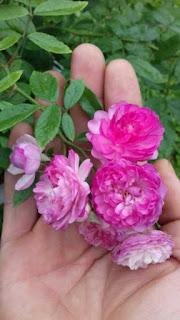 mua đất trồng hoa hồng