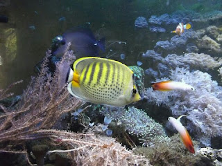 Jenis Ikan Hias Air Laut Butterfly Fish