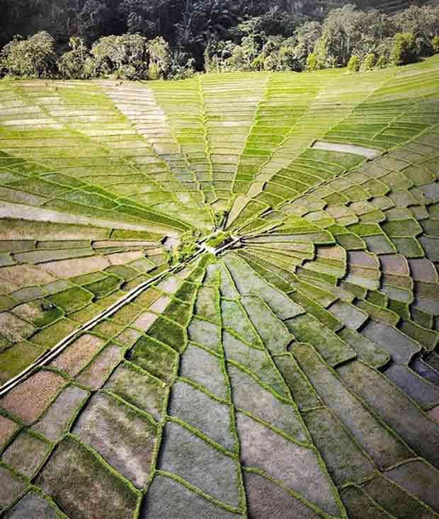 Sawah Spiderweb di Manggarai Flores NTT, Warisan Nenek Moyang yang Masih Bertahan