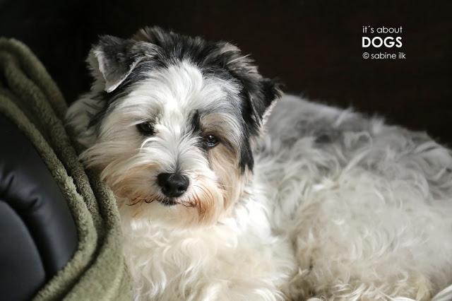 Biewer Yorkshire Terrier Lotta auf ihrem Lieblingsplatz - dem Ohrensessel
