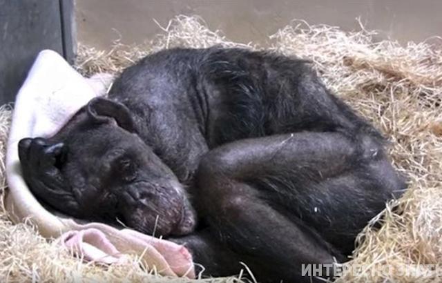 Старая умирающая шимпанзе ничего не ела, пока не услышала голос своего друга…