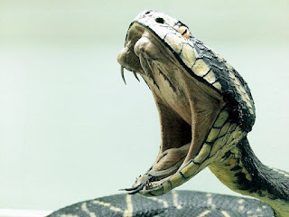 Arti Mimpi Digigit Ular Cobra