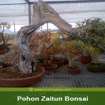 ciri ciri pohon zaitun bonsai