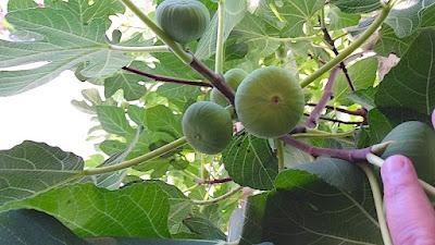 Armenian Fig