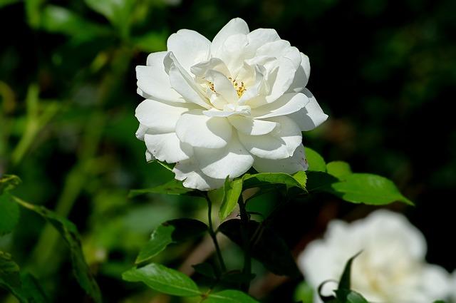 hoa hồng trắng đẹp nhất 4