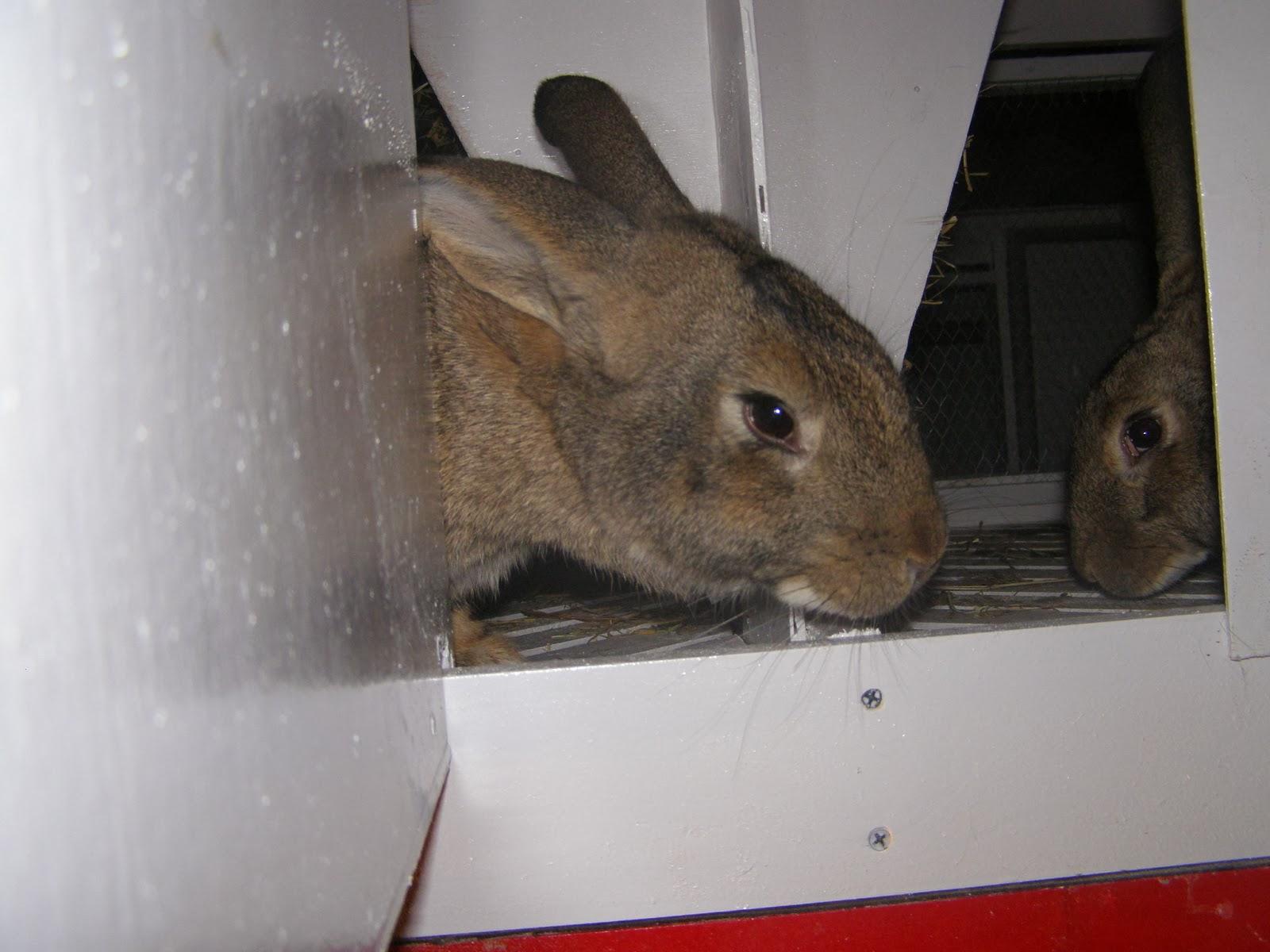 Кролик сірий великан