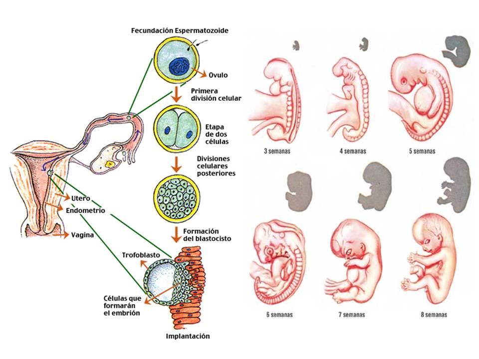Mesodermo ectodermo y endodermo embriologia pdf writer