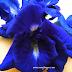 Inilah Bunga Telang Bunga Nasi Kerabu