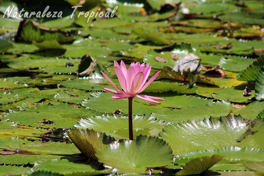 Nenúfar florecido en un estanque, género Nymphaea