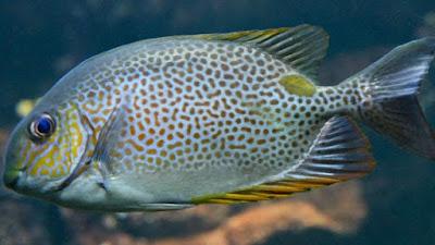 ikan asin jambal baronang