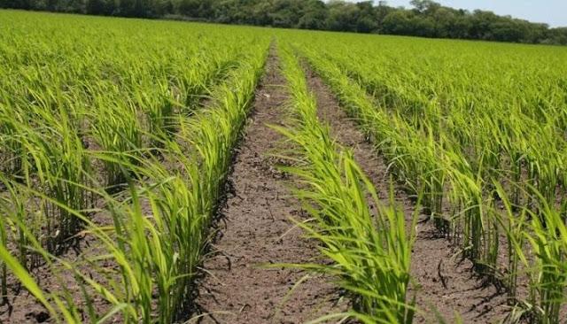 Productores denuncian presión del Ejecutivo para entregar sus cosechas de arroz