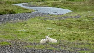 Wild sheeps of Iceland