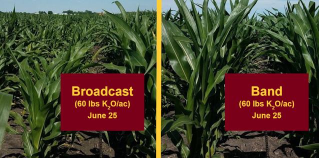 potassium K management fertilizer corn Minnesota