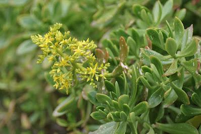 Sedum praealtum - Green cockscomb - Greater Mexican stonecrop care and culture