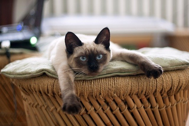 Harga Kucing Siam
