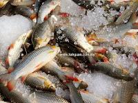 Mengapa kita harus mengonsumsi ikan laut