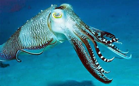 Choco - Cuttlefish