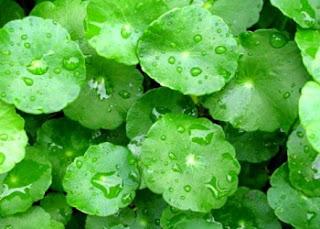 Ternyata, Rumput Liar di Pematang Sawah Ini Memiliki Segudang Khasiat Untuk Kesehatan, Tapi Adakah Efek Sampingnya?