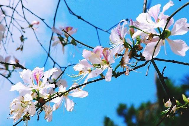 Tháng 1 hoa ban nở trắng trời Đà Lạt đẹp tựa như trong tranh 4