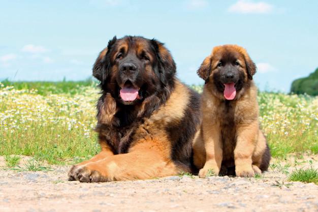 Leonberger Cachorro