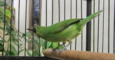 Cara Merawat Cucak Ijo Mini Agar Cepat Jinak Cara Menjinakkan Burung Cucak Ijo Mini Hobi Si Petani