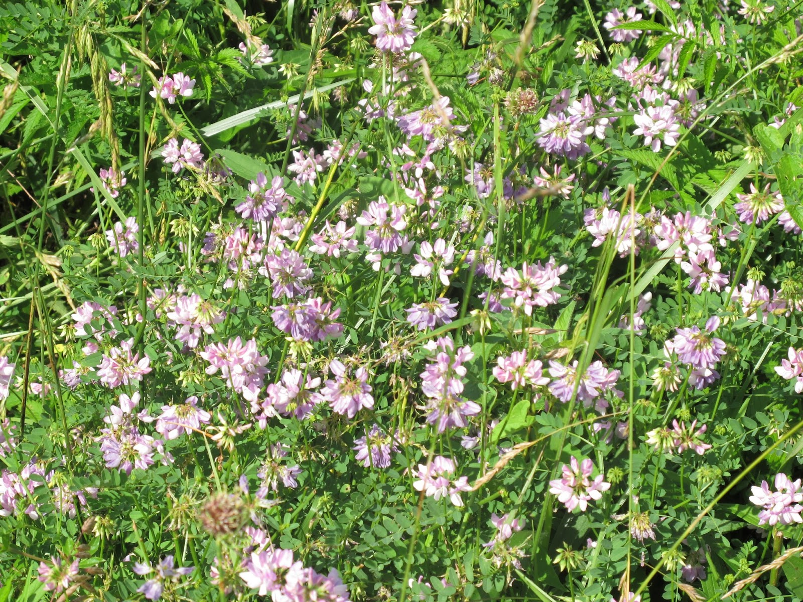 Blue jay barrens invasive control crown vetch i made an effort this year to seek out and spray colonies of the invasive crown vetch for several years now ive been finding random clumps of this izmirmasajfo
