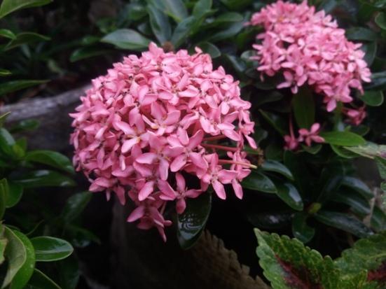 All About Bunga Soka Dan Jenisnya Dari Yang Kuning Hingga Pink Ayo Berkebun