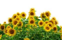 gambar taman bunga