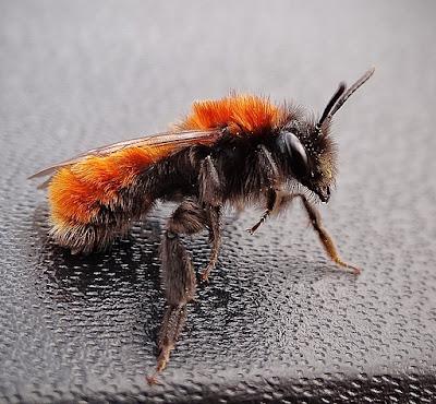 ginger ground mining bee