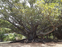 A large venerable tree - Auckland Domain, New Zealand