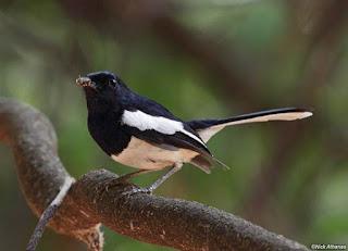 Ciri-Ciri dan Habitat Burung Kacer - Burung Kacer Promadona Burung Berkicau