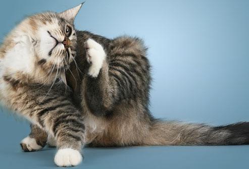Penyakit Kulit Pada Kucing Dan Cara Mengatasinya Lengkap Dengan Gambar