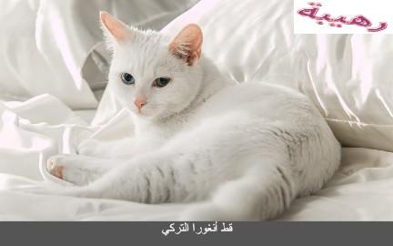 قط أنغورا التركي